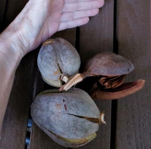 Mahagony nuts (1)