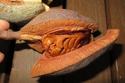 Mahagony nuts (2)